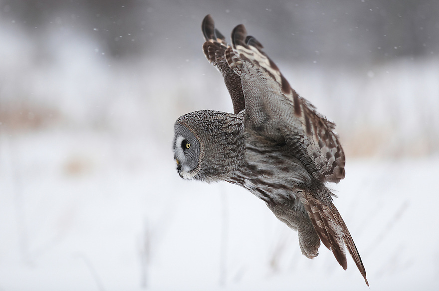 WILD GREAT GREY OWL; STRIX NEBULOSA; HUNTING; PREDATOR; WINTER; FEBRUARY; COLD; BIRD OF PREY; OULU, FINLAND, EUROPE;