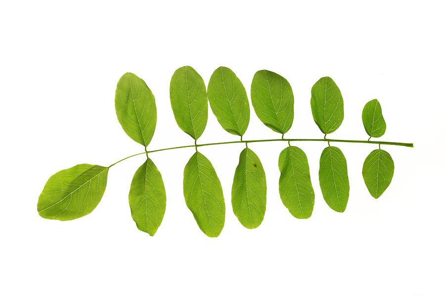 Robinie, Gewöhnliche Scheinakazie, Schein-Akazie, Falsche Akazie, Robinia pseudoacacia, False Acacia, Black Locust, Robinia, Le Robinier faux-acacia, Acacia. Blatt, Blätter, leaf, leaves