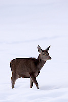 Young red deer standing in the snow