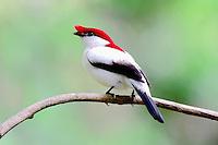Soldadinho do araripe<br /> Barbalha - CE. Ave rara que só ocorre lá lá Serra do Araripe.<br /> <br /> Aves do nordeste.<br /> Ceará, Brasil.<br /> Foto Jorge Macedo