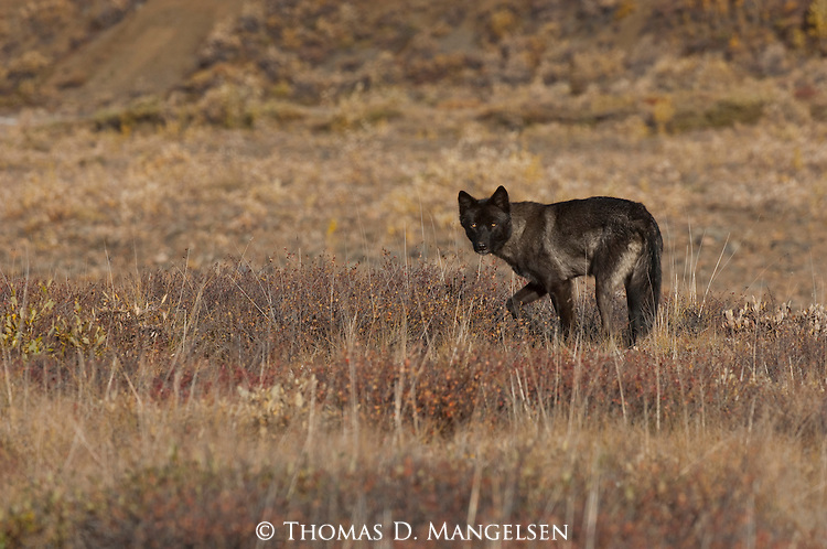 A gray wolf stands alert as it surveys the tundra in Denali National Park, Alaska.