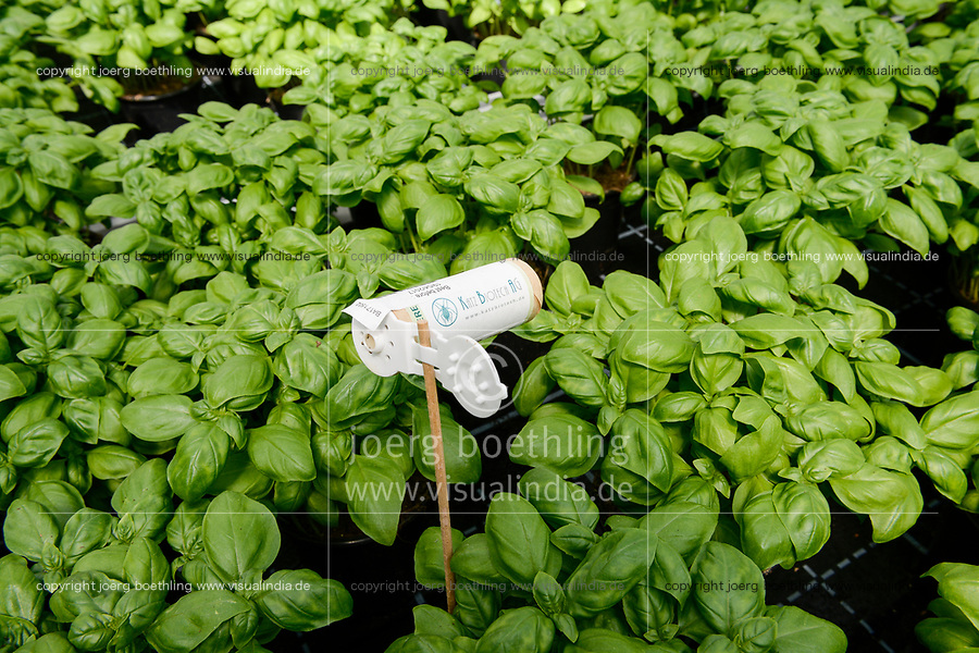 GERMANY, Berlin, combined Basil and Tilapia fish farm of start up ECF, the fish farm is combined with green houses to cultivate vegetables irrigated with sewage water from the fish ponds , the system is called aquaponic, greenhouse with basil plants, biological pest control / DEUTSCHLAND, Berlin, Tilapia Fischfarm des start-up Unternehmens ECF auf dem gelaende der ehemaligen Schultheiss Malzfabrik, mit dem naehrstoffhaltigem Abwasser der Fischtanks wird Basilikum im Gewaechshaus bewaessert, Aquaponic System, als Hauptstadt Barsch werden Fisch und Basilikum in Berlin ueber Rewe und Metro lokal vermarket,  Gewaechshaus mit Basilikum Topfpflanzen, biologische Schaedlingsbekaempfung