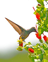 Buff-bellied hummingbird feeding at turk's cap