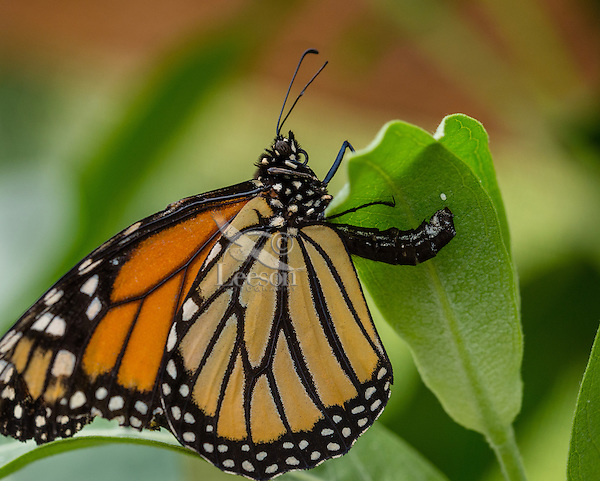 Female Western Monarch Butterfly (Danaus plexippus) depositing/laying egg on milkweed leaf.  OR.