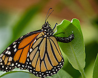 Female Western Monarch Butterfly (Danaus plexippus) depositing/laying egg on milkweed leaf.  OR.