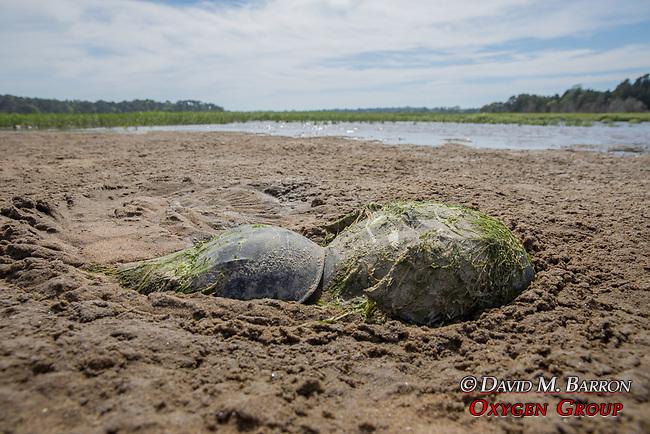Male & Female Horseshoe Crabs Mating