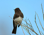 Black Phoebe, Tyrant Flycatcher, Sepulveda Wildlife Refuge, Southern California