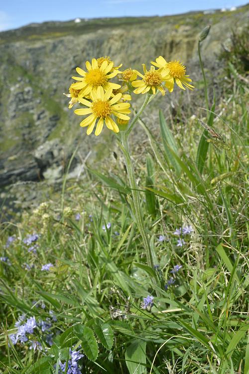 South Stack Fleawort - Tephroseris integrifolia ssp maritima