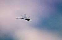 Green Darner Dragonfly, Idaho