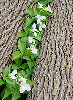 Trillium (Large-flowered Trillium, Trillium grandiflorum) blooms betwen two fallen tree trunks in a forest in Door County, Wisconsin