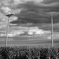 Power Poles Through a Corn Field