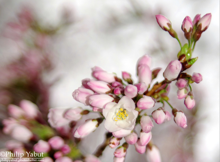 Before the Yoshino blossoms open up, the florets bear a pink color, even though the fully open flowers are white.