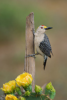 597900031 a wild male golden-fronted woodpecker melenerpes aurifrons perches on a dead stump on dos venadas ranch in the rio grande valley of south texas
