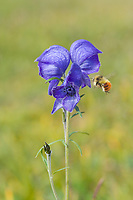 Bee on Monkshood blossom, wildflower, Denali National Park, Alaska