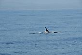 Risso Dolphin stock photos