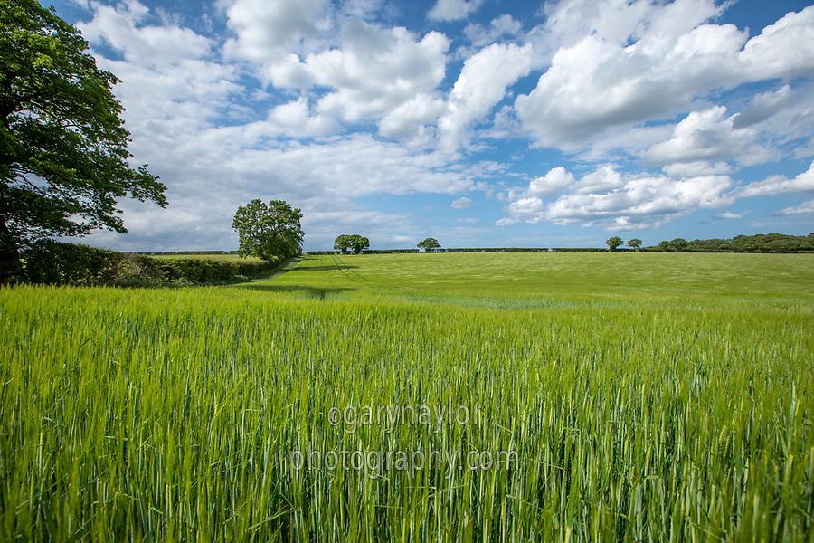 Winter barley in ear - Norfolk, June