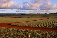 Pineapple Fields, Oahu, Hawaii, USA.