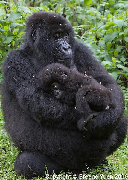Gorilla Mom and Baby2 Rwanda 2015
