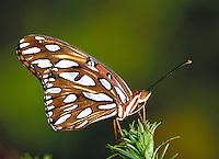 "AGRAULIS VANILLAE, """"Gulf Fritillary Butterfly"""". Subfamily - Heliconiinae; Family - Nymphalidae; Order - Lepidoptera; Class - Insecta; Phyllum - Arthropoda; Kingdom - Animalia. NEW ORLEANS LOUISIANA USA AUDUBON ZOO."