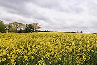 Rapsfelder bei Swaneke auf der Insel Bornholm, D&auml;nemark, Europa<br /> Rape field near Svaneke, Isle of Bornholm Denmark