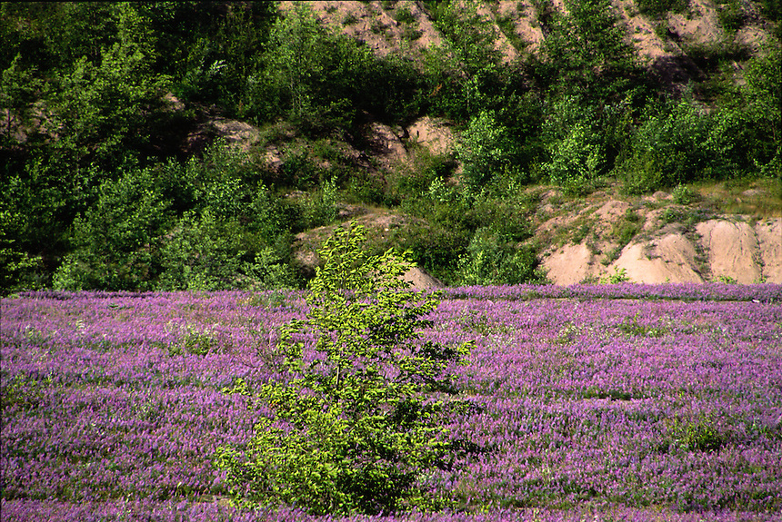 Prairie Lupine (Lupinus lepidus), Mt. St. Helens National Volcanic Monument, Washington, US