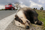 A European Badger (Meles meles) killed on a road, Europe