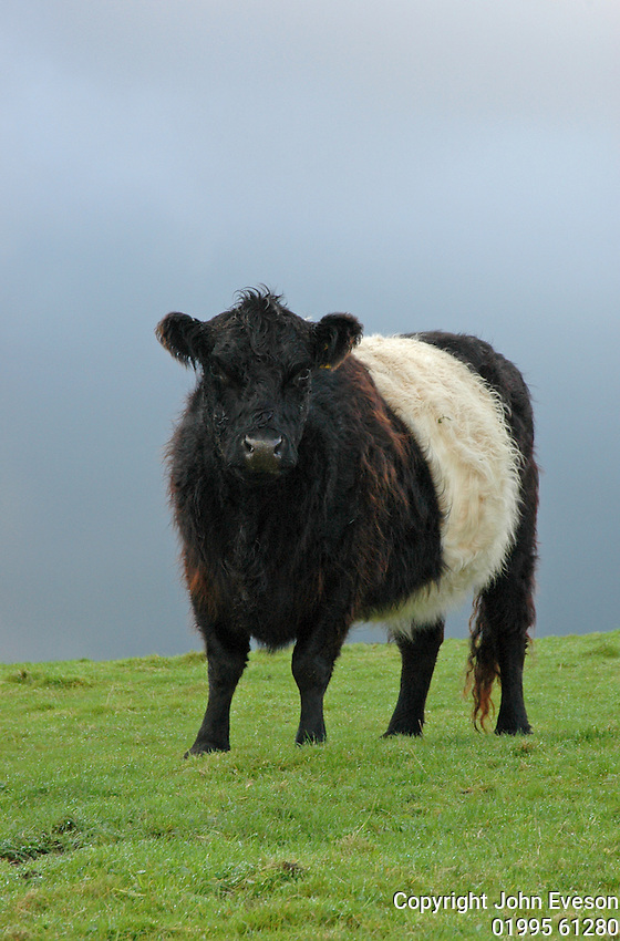 Belted Galloway heifer in County Durham.