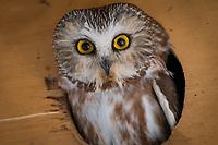 Female Saw-Whet Owl in her nest box.
