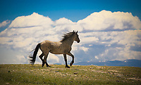 This Stallion proudly prances along the ridge top after successfully chasing off an intruding Mustang.<br />