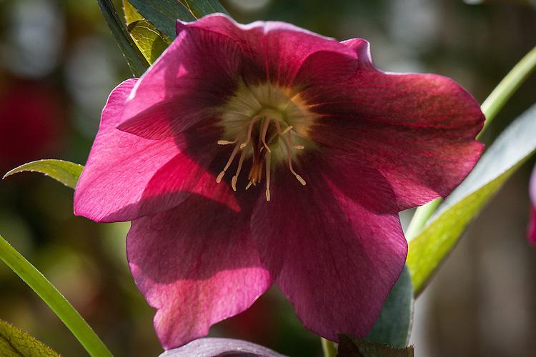 Helleborus (Rodney Davey Marbled Group) 'Penny's Pink', late April.