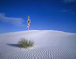 Yucca plant in White Sand National Monument, Alamogordo, New Mexico, USA. .  John offers private photo tours and workshops throughout Colorado. Year-round. .  John offers private photo tours in Arizona and and Colorado. Year-round.