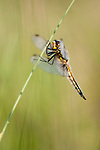 Four spotted chaser, Libellula quadrimaculata in Hay Meadow - Clattinger farm, Wiltshire