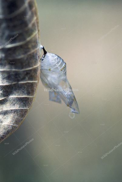 Empty Chrysalis; Metamorphosis of a Monarch Butterfly Caterpillar (Danaus plexippus), from larvae to chrysalis to adult, on Common Milkweed. (Series, Ohio)