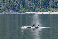 killer whale or orca, Orcinus orca, mother and calf, spouting, Alaska, USA, Pacific Ocean