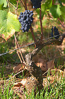 pinot noir guyot simple training vineyard dom rossignol trapet gevrey-chambertin cote de nuits burgundy france