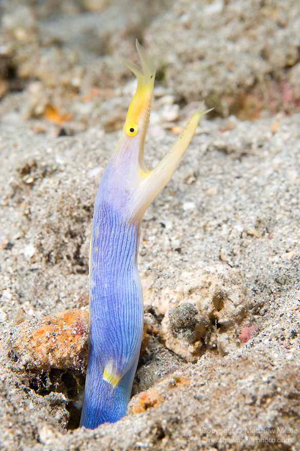 Paradise House Reef, Taveuni, Fiji; a male Blue Ribbon Eel (Rhinomuraena quaesita) in it's sandy burrow on the sea floor