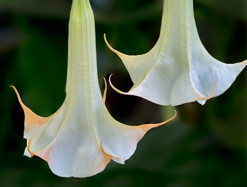 Close up of Angels Trumpet.(Nanahonua)St. John. Virgin Islands.