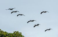 Brown Pelicans, Pelecanus occidentalis, flying over the Suerte River (Rio La Suerte), Limon Province, Costa Rica