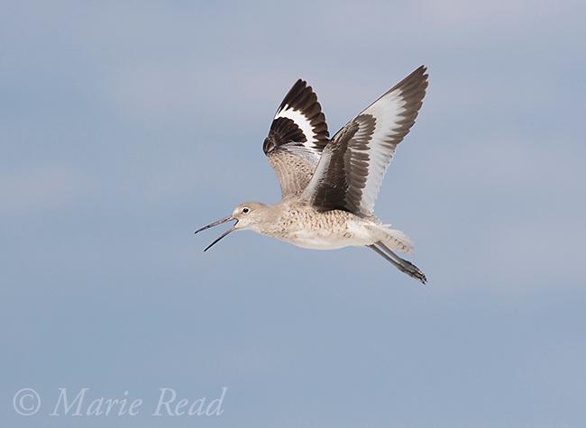 Willet (Catoptrophorus semipalmatus) calling in flight, Fort De Soto Park, Florida, USA