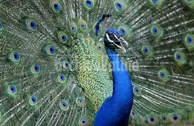 A peacock displays its plumage at the National Zoo in Managua .