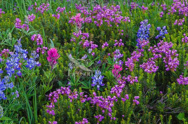 Wildflowers--lupine, paintbrush and heather--in subalpine meadow, Mount Rainier National Park, WA.  Summer.