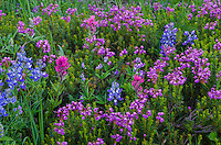 Wildflowers--lupine, paintbrush and heather--in subalpine meadow, Mount Rainier National Park, WA.  Summer.