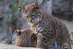 Bobcat males play in Palm Desert, CA.   Captive