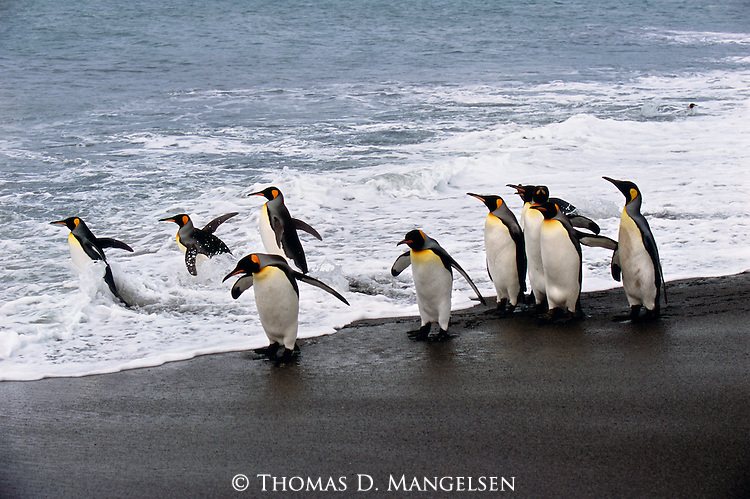 Venturing to the water's edge, a colony of king penguins jointly launch a deep and lengthy journey into the sea in search of food.<br /> Gold Harbour, South Georgia