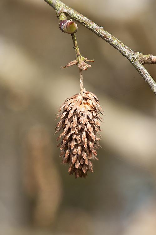 Female fruiting catkin of Erman's birch (Betula ermanii 'Polar Bear'), late March.