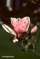 MG01-002b  Magnolia flower - Soulange magnolia - Magnolia soulangeana