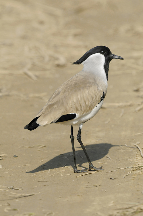 River Lapwing - Vanellus duvaucelii Length to 30cm. An elegant wading bird, closely related to Spur-winged Plover. In flight, wings show a striking black-and-white pattern. Range extends across southeast Asia. Favours shingle margins of fast-flowing rivers.