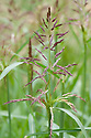 Sorghum halepense,eary July. A perennial grass cultivated for fodder but also an extremely invasive weed. Commonly known as Johnson grass.