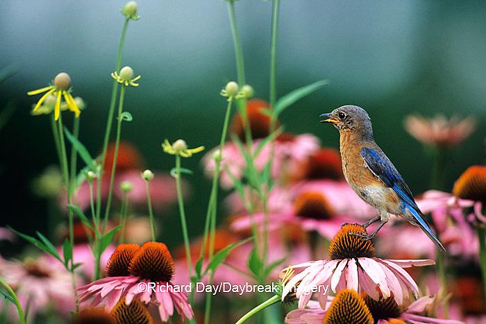 01377-069.12 Eastern Bluebird (Sialia sialis) female on Purple coneflowers (Echinacea purpurea) Marion Co. IL