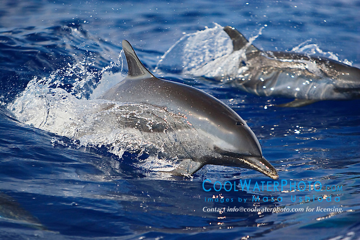 Pantropical Spotted Dolphins, Stenella attenuata, wake-riding, off Kona Coast, Big Island, Hawaii, Pacific Ocean